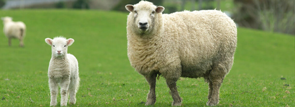 White sheep, ewe and a lamb on a green field of grass